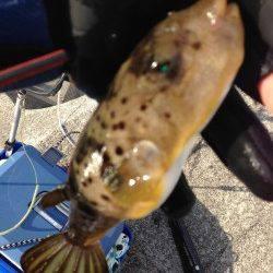 紀ノ川河口、紀州釣りで本命のあたり無いもののガシラGET