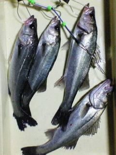好★釣 エビ撒き釣り情報