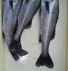 エビ撒き釣りでハネ、好釣です♪