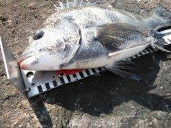【チヌ釣れました】南芦屋浜