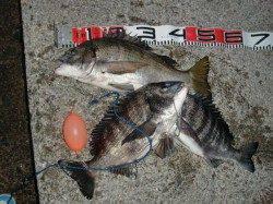 【今日も釣れてるメタボチヌ♪♪】南芦屋浜リアルタイム