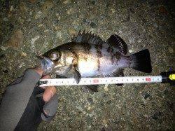 江井ヶ島 沖向きテトラで良型メバル釣れました♪