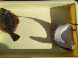 岸和田一文字 投げ釣りでカレイ34cm