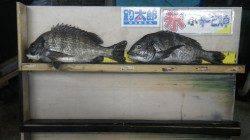 天神崎でフカセ釣り、ナイスサイズのチヌの釣果☆