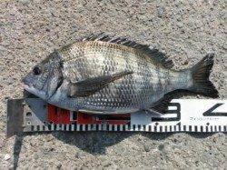 【チヌ&ハネ釣れてます♪】南芦屋浜
