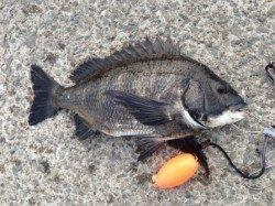 【名物メタボチヌ釣れています!】南芦屋浜