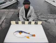 筏でシマフグが釣れました!