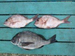 神谷一文字、カゴ釣りでチヌと小ダイの釣果