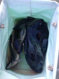 串本の磯 フカセでグレの釣果