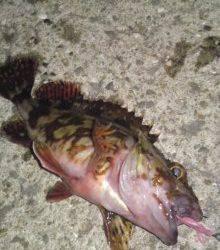 垂水漁港ボトムでガシラ♪ メバルはショートバイトで・・・