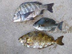 チヌにグレにアイゴに…湯浅の磯フカセ釣果