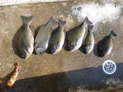 フカセ釣りでグレの釣果 12日湯浅の磯で