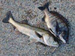 【60cmのハネ】本当に釣れてしまいました