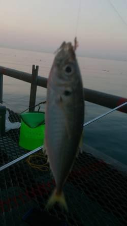 とっとパーク小島のサビキ釣り、18時半頃にアジの時合ありました