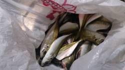 雨の中とっとパーク小島でサビキ釣り、ぱらぱらとアジ釣れました