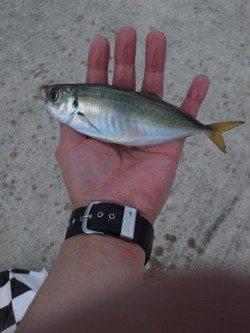 炬口でカゴ釣り イイ型のアジが釣れました