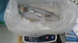 日置地磯でのアオリイカの釣果〜1800g&1010g