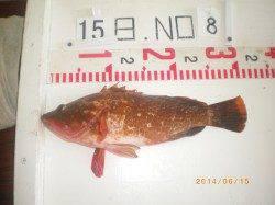 姫路市立遊漁センター 探り釣りで良型アコウをキャッチ!