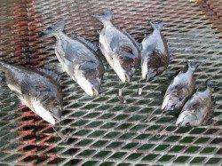 尼崎市立魚つり公園 落とし込みでチヌ&今年初の豆アジ釣果