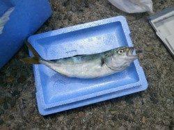 大阪南港魚つり園 イワシ・小サバ・ツバスの釣果