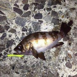 新浜漁港のメバリング釣果