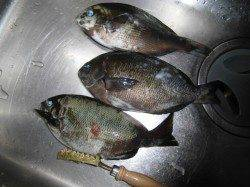 翼港にてフカセでグレ釣り〜潮が早く釣りにならず・・・