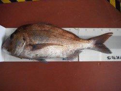 北港魚つり公園 良型マダイ&アコウの釣果