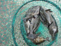 和歌山北港魚つり公園 紀州釣りでグレ・アイゴ・カワハギ