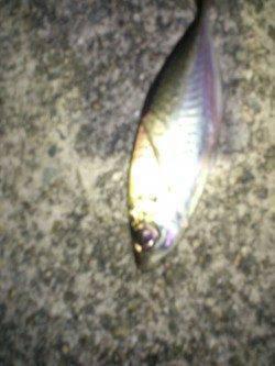 大和島周辺 一投一匹のアジング釣行に大満足