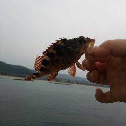 香住東港 エサなしジグサビキで根魚の釣果