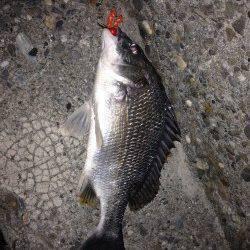 チビレ多い中37cmの満足サイズのキビレ〜チニング釣果