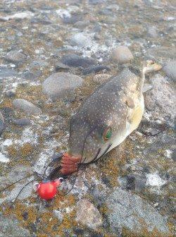 汐見埠頭周辺チニングでキビレとフグの釣果