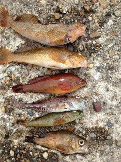 本荘人工島 シラサエビの胴突き釣りで美味しい魚の6目釣り