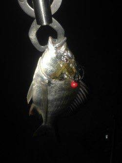 チニングでキビレ・チヌの釣果〜小型が多かったです