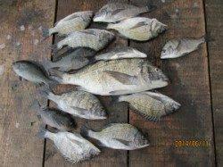 田井の筏でチヌ27~51cm10匹!
