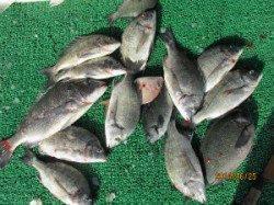 田井の筏、チヌが数釣れています