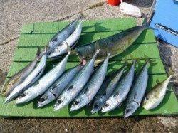 神谷沖一文字 カゴ釣りでゴマサバ&イサギ楽しめる