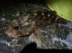 雑賀崎での夜釣り アオイソメでガシラ、きびなごの切り身でアナゴ