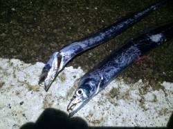 北港でのタチウオ釣りカウント5でヒット エギでケンサキの釣果も