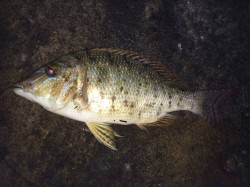 見草周辺の夜釣りで大物狙いのフカセ〜ハマフエフキの釣果