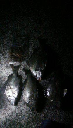 尼崎でグレ・セイゴ・キビレ・チヌ 小さい魚は入れ食いでした