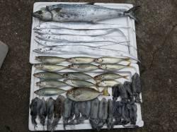シモツピアーランドにてサワラ・アオリイカ・タチウオなど大漁!
