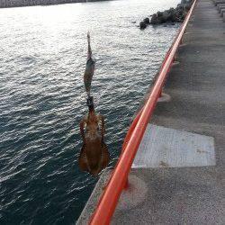 秋の新子調査にアジュールへ ケンサキイカも釣れお土産は確保