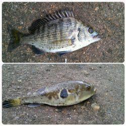 津居山漁港でコノシロ・チヌ・フグなどの釣果