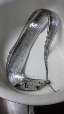 青岸のタチウオ釣り〜アタリ3回のうち針掛かり1匹でした