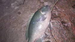口太グレ・イサギ・マアジ 阿尾漁港付近の地磯での釣果