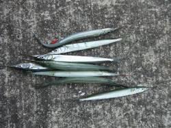さすが「サヨリのメッカ」南芦屋浜ワームでサヨリ釣れました♪