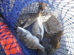北港魚つり公園 チヌにサンバソウ、いい感じ