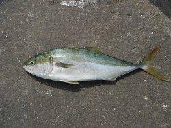 和歌山北港魚つり公園 マダイ40cm ハマチ54cm