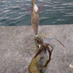 佐野漁港 小雨が降るなか半夜釣りでアオリイカ5杯